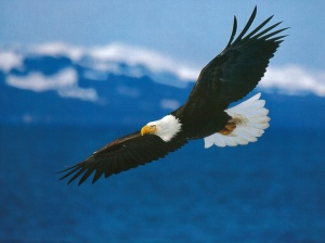 "wikipedia images ""Bald Eagle"""